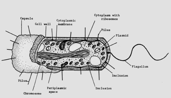 celula procariota para pintar